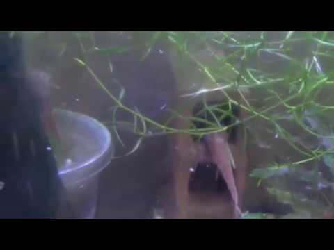 L10A Red Lizard Catfish 2 Males