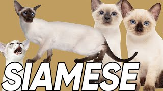 6 Facts You Didn't Know About the Siamese Cat!