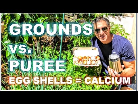 EGG SHELL PUREE vs. GROUNDS | TOMATO CARE--6 WEEK UPDATE | R