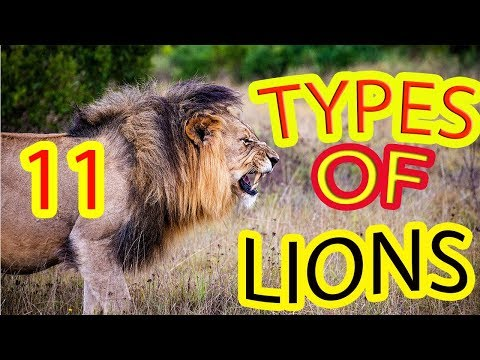 11 Types Of Lions | Facts About Lion | Interesting Information About Lion