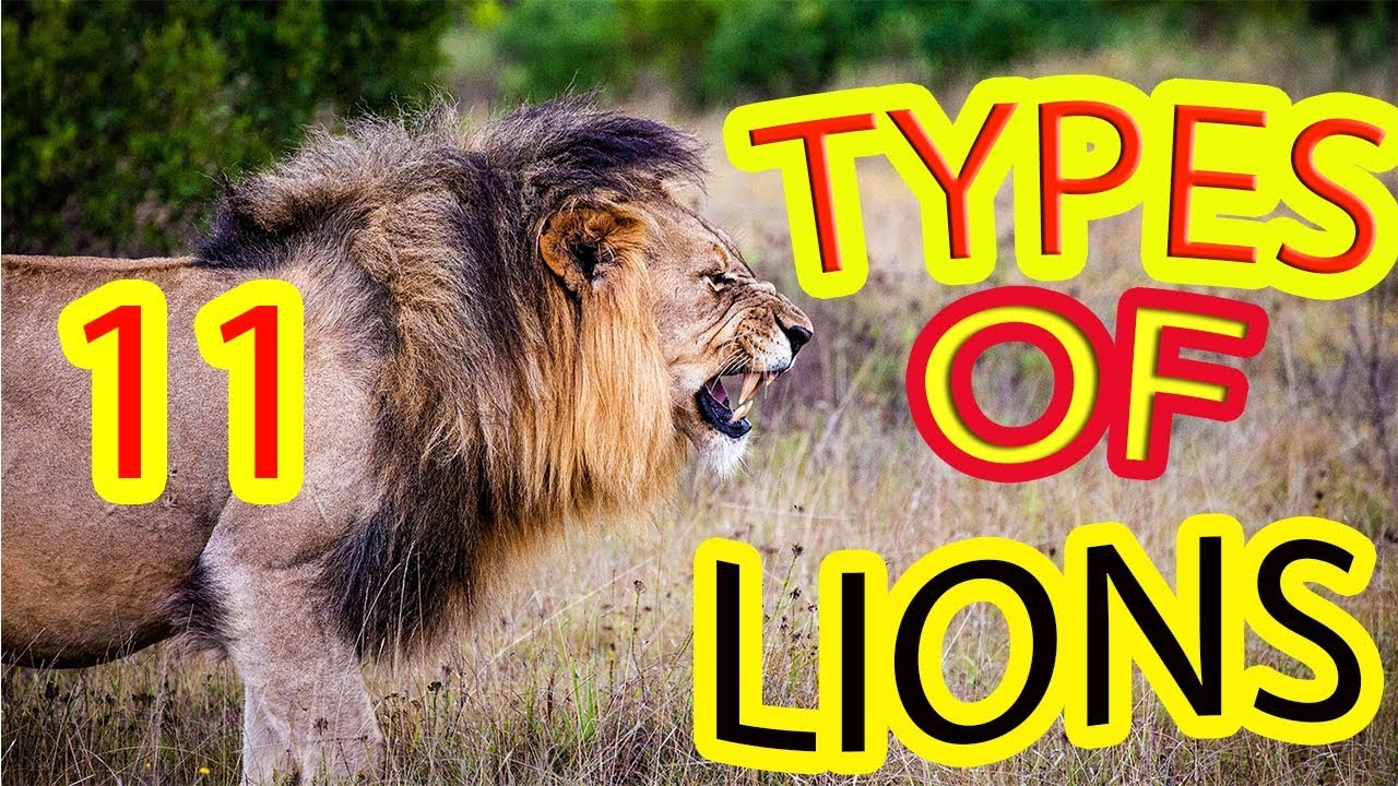 11 Types of Lions | Facts About Lion | Interesting information about lion -  YouTube