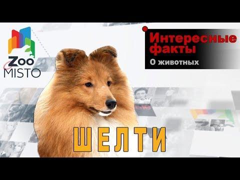 Шелти - Интересные факты о породе  | Собака породы шелти