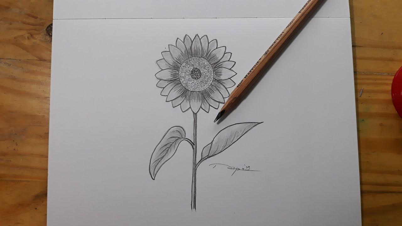 Gambar Bunga Matahari Dan Cara Menggambar Bunga Matahari