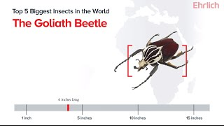 Top 5 Biggest Insects in the World