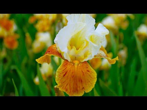 How To Plant Iris Germanica: Summer Garden Guide
