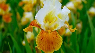 How to Plant Iris Germanica: Jeff grows on Summer Iris in pots