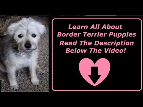 Border Terrier Dogs Temperament and Having Fun