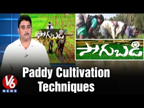 Paddy Crop cultivation techniques in Rabi Season by Senior S