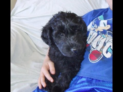 Leo, A Kerry Blue Terrier Puppy from Celebritypups.com