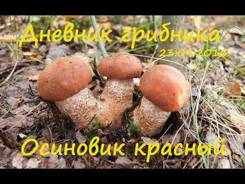 Дневник грибника 23 сентября 2016. Подосиновики красные.