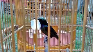 Gambar cover Langsung respon!!! Terapi Burung Kolibri Ninja  lelet dan males bunyi