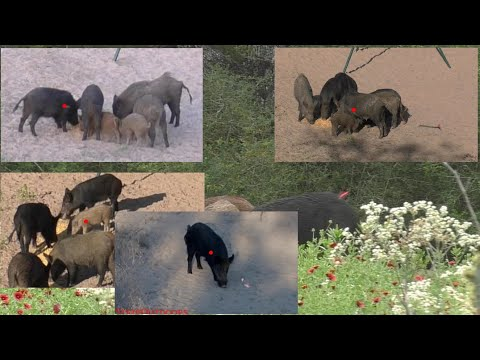 Archery Hog Hunting – Highlight reel