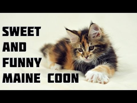 Maine Coon Cat Videos - Funny and Sweet Maine Coon Cats