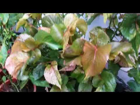 Acalypha Plant Beuatiful Foliage Houseplant Acalypha