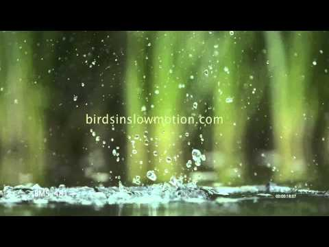 Kingfisher Slow Motion Diving in Water shot on Phantom HD Gold