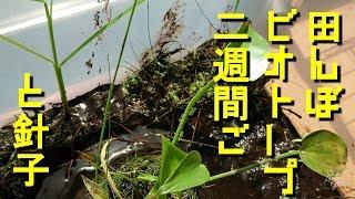 田んぼビオトープ2週間後の様子「夏に生まれた針子達」Crepe's Biotope thumbnail