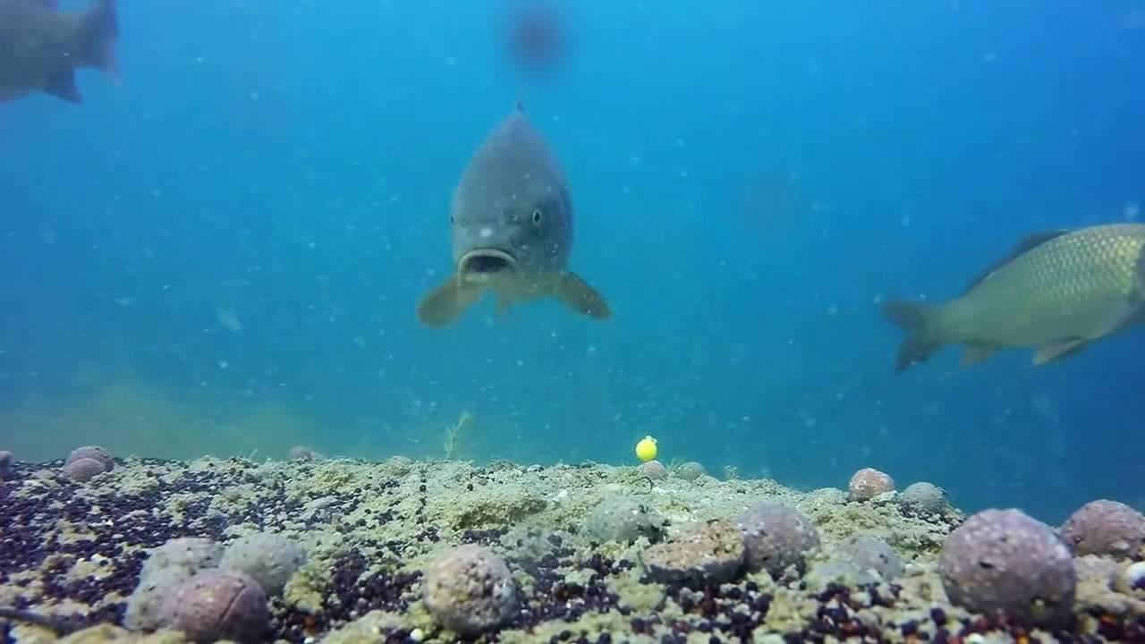 видео как клюет сом под водой