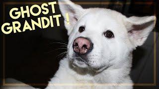 Mon chien grandit et devient énorme ! (Ghost l'akita americain)