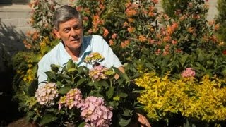 How to Grow Mophead Hydrangeas Successfully : Garden Savvy