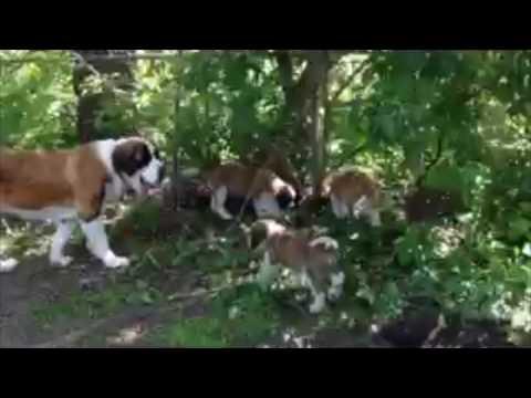 PuppyFinder.com : SAINT BERNARD PUPPIES