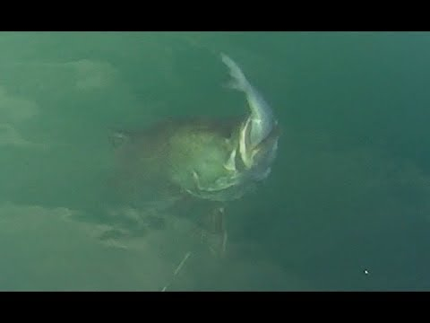group-of-monster-fish-chases-bait-fish.-fishing-in-japan