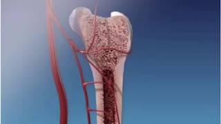 Формирование длинных костей скелета.