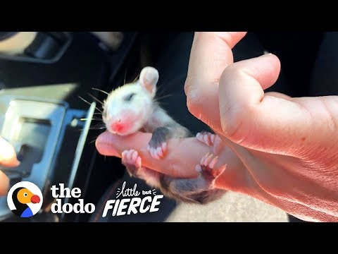 This Baby Opossum Has The Cutest Hands | The Dodo Little But Fierce