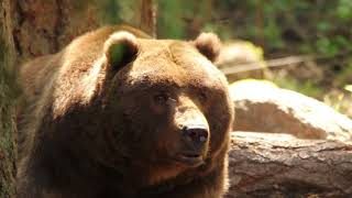 Tips to Tag a Mature Bear