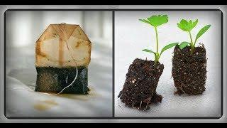 Как вырастить рассаду в чайных пакетиках ???
