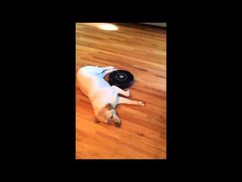 Yellow Lab vs. Roomba