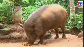 കാട്ടുപന്നിയെ സ്നേഹിക്കുന്ന വീട്ടമ്മ ; കൗതുകക്കാഴ്ച  | Wayanad pig
