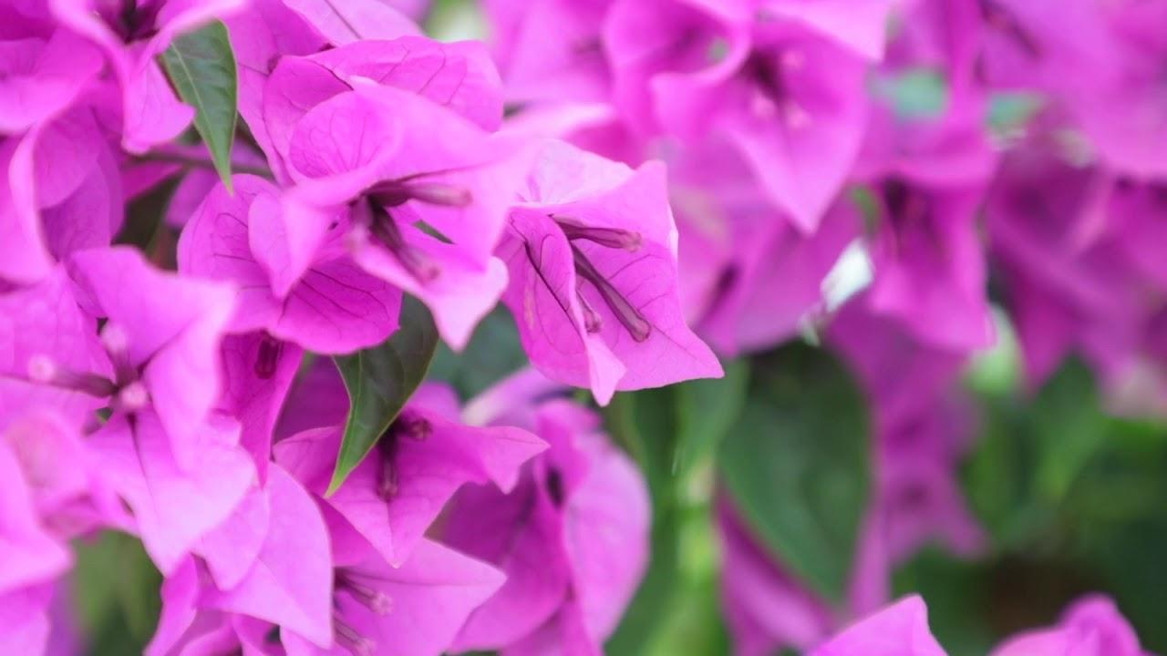 Bougainvillea Paper Flower Stock Footage Hd Youtube