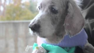 Sammy The Cocker Spaniel - Join Us On The Road To Recovery