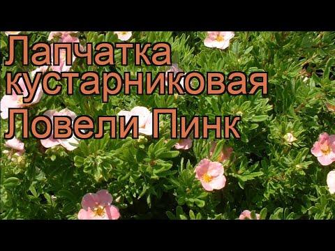 Лапчатка кустарниковая Ловели Пинк (lovely pink) 🌿 обзор: как сажать, саженцы лапчатки Ловели Пинк