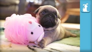 Silly Pug Puppy Uses a Loofah  Puppy Love