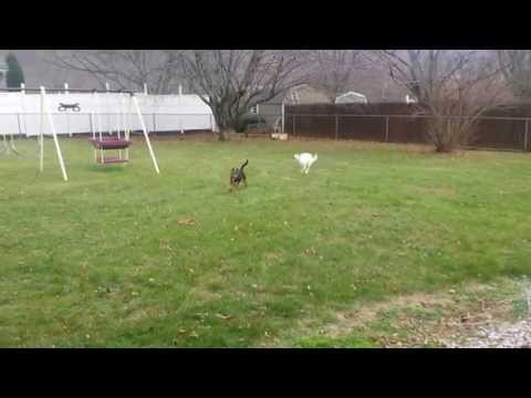 Australian kelpie and Australian cattle dog playing