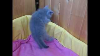 Прикольные игры британских котят