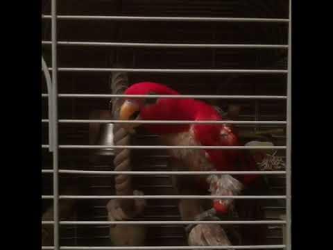 На вызове у говорящего попугая Лорикета.