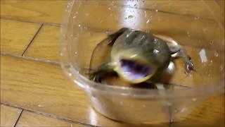 Мимишная крикливая возмущенная жаба)