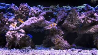 Soothing and Colorful Saltwater Aquarium Fishtank Video