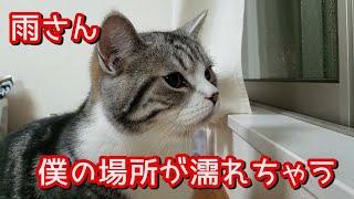 大雨で自分の場所が濡れたのが気になる猫(マンチカン)がこちら - Munchkin that doesn't like getting his place wet -