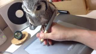 ペンを操る手に、器用に乗り続けるアフリカオオコノハズク