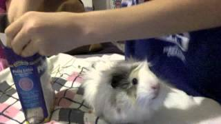 HOWTO Litter Train your Guinea Pig!