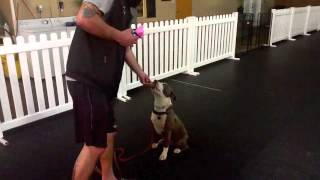 Levi Lasner, Pit Bull Obedience, Dog Training Charlotte North Carolina