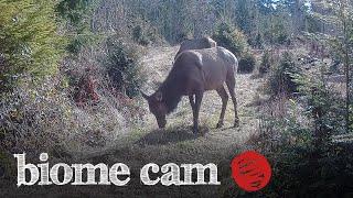 Roosevelt Elk Camera Trap Footage   Biome Cam