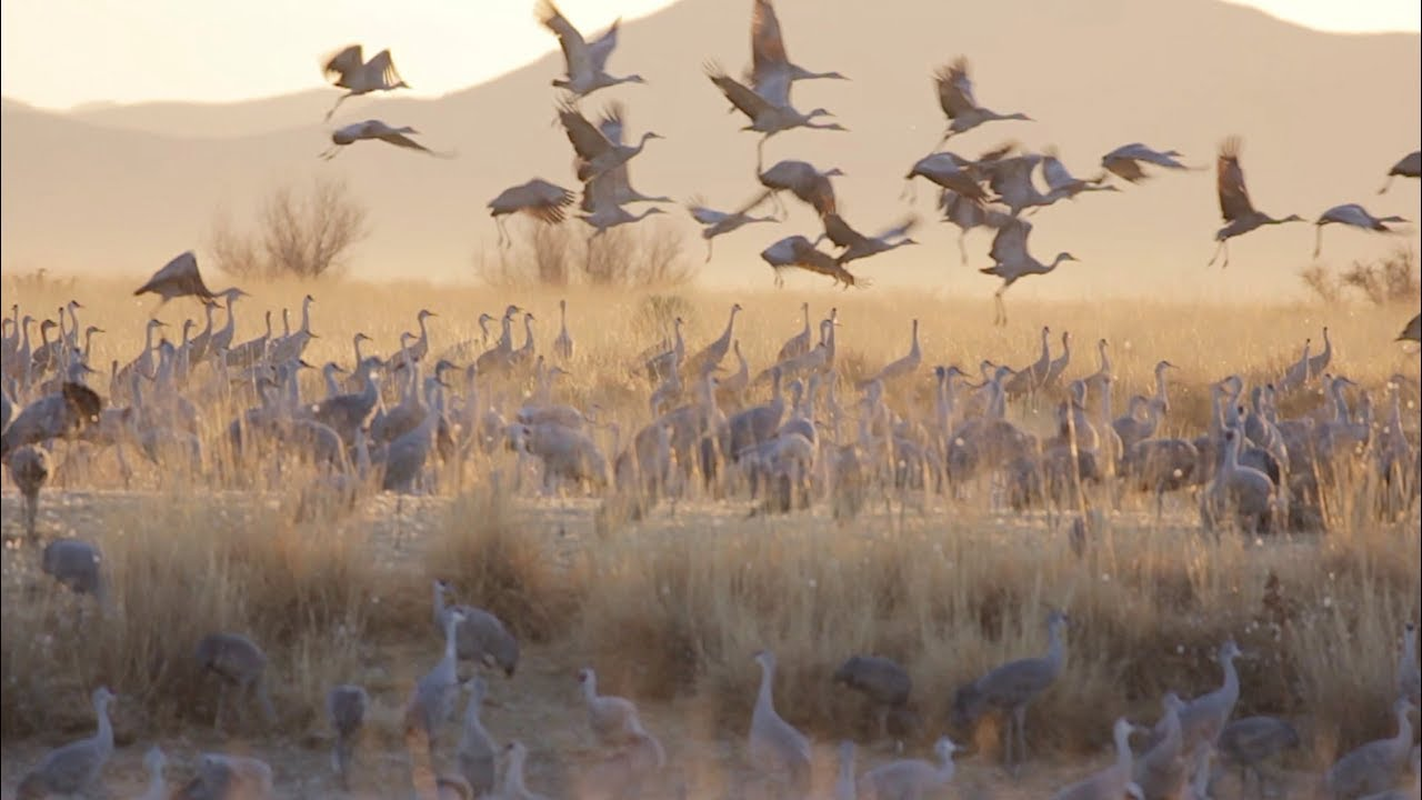 Festival Of The Cranes 2020 Monte Vista Crane Fest   Celebrating Spring in the Valley of the
