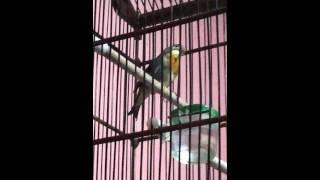 Burung robin mantab