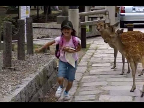Nara Deer Park - japanese deer chasing child is hilarious - 奈良公園の鹿