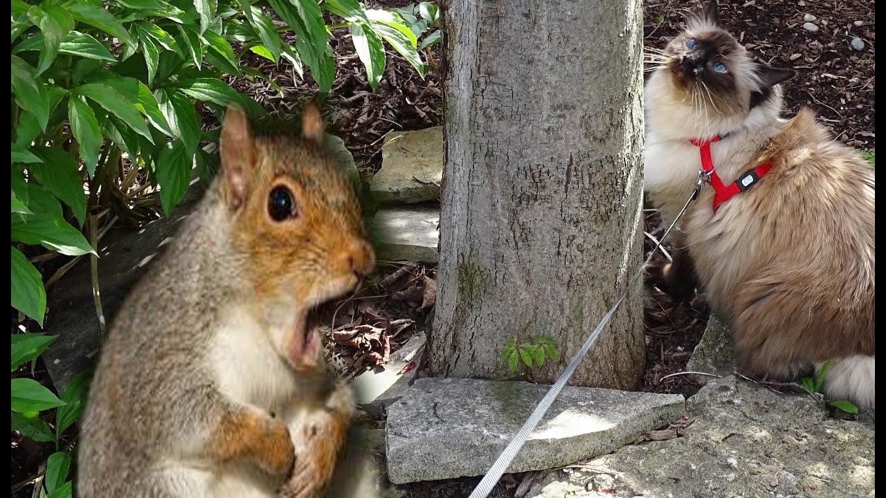 Ragdoll Cat Rochelle VS. Squirrel