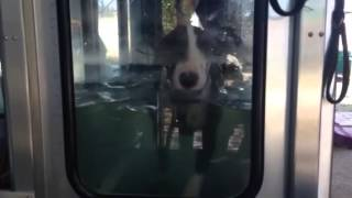 Bull Terrier Dexter's Hydrotherapy Session